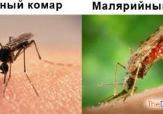 Разница между малярийным и обыкновенным комаром