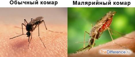Чем отличается малярийный комар от обыкновенного