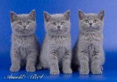 Разница между британскими котятами и шотландскими
