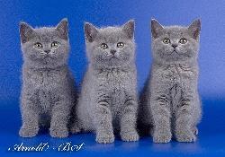 Отличие британских кошек от шотландских