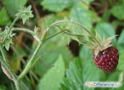 Плод клубники