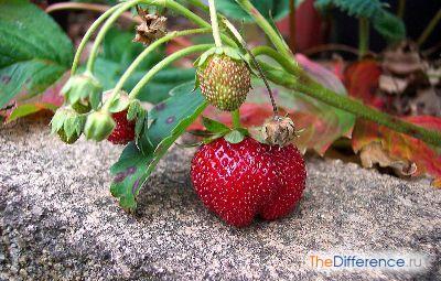 Плод земляники садовой