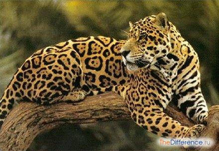 Чем отличается ягуар от леопарда