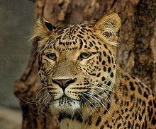 Отличие ягуара от леопарда