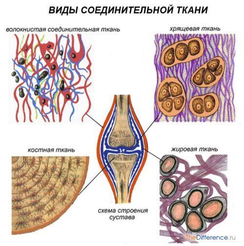 отличие эпителиальной ткани от соединительной