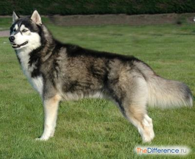 Хаски (собака)