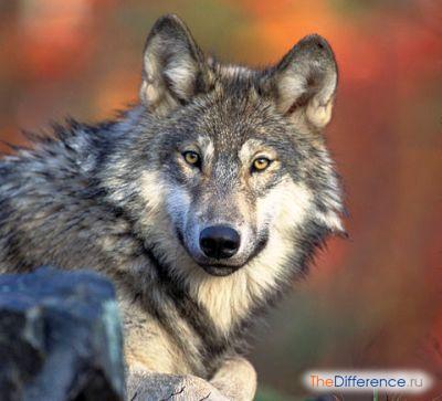 разница между волком и собакой