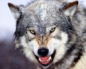 Отличие волка от собаки