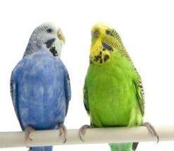 Как отличить самку волнистого попугая от самца