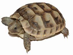 Как отличить самца черепахи от самки