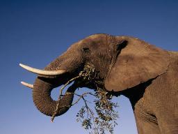 Отличие африканского слона от индийского