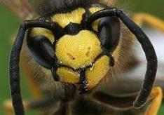 Разница между укусом пчелы и осы