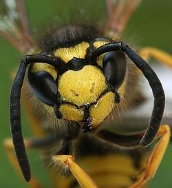 Отличие укуса пчелы от укуса осы