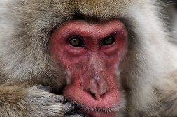 Отличие человекообразных обезьян от нечеловекообразных