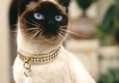 Разница между тайскими и сиамскими кошками