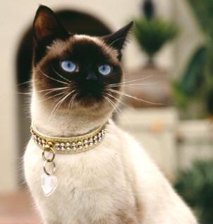 Отличие тайских кошек от сиамских