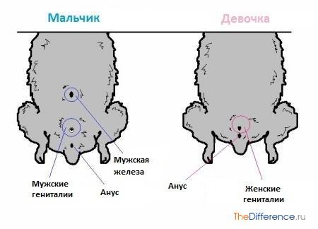 отличие самки хомяка от самца