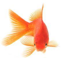 Как отличить самца золотой рыбки от самки