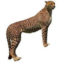 Отличие гепарда от леопарда