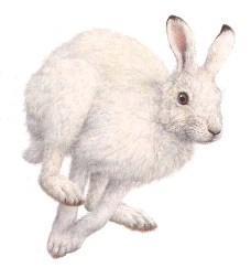 Отличие зайца-беляка от зайца-русака