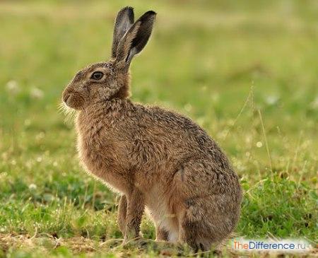 otlichie-zajca-ot-volka-2