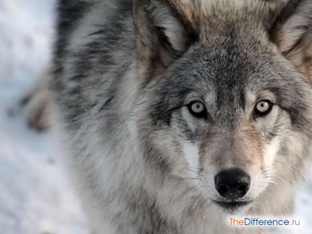 отличие зайца от волка