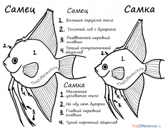 скалярии различие самец и самка