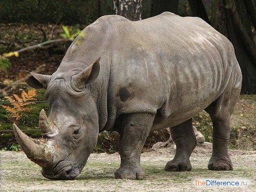 разница между слоном и носорогом