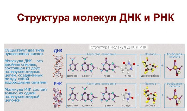 отличие ДНК от РНК