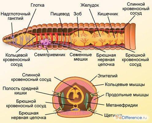 разница между кольчатыми червями и круглыми червями