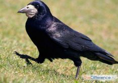 Разница между грачом и вороном