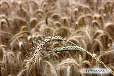 отличие ржи от пшеницы