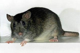 разница между мышами и крысами