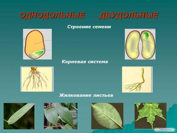 отличие однодольных растений от двудольных растений