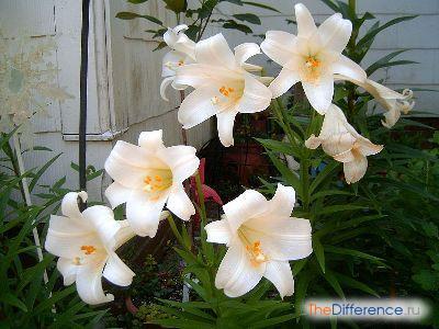 Белые садовые лилии