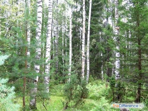 разница между тайгой и смешанными лесами