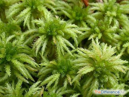 отличие мхов от водорослей