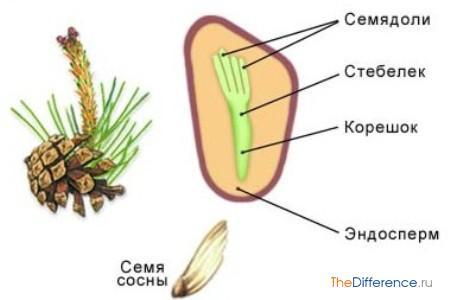 разница между плодом и семенем