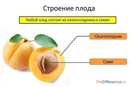 отличие плода от семени