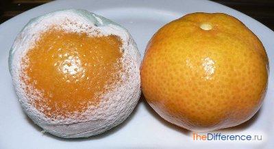 Пеницилл на мандарине