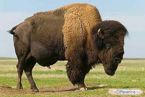 разница между бизонами и зубрами