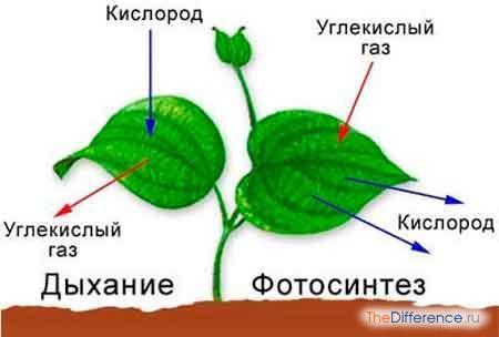 отличие дыхания от фотосинтеза