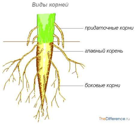 разница между побегом и корнем