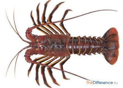разница между омарами и лангустами