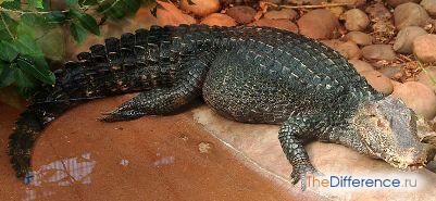 отличие каймана от крокодила