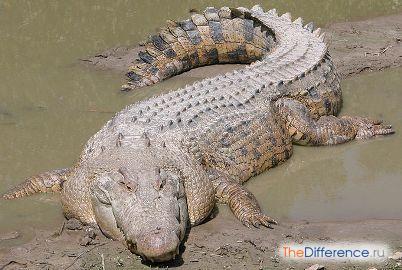 разница между кайманом и крокодилом