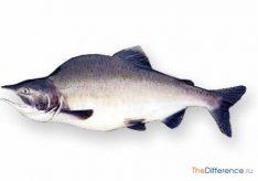 Разница между горбушей и лососем