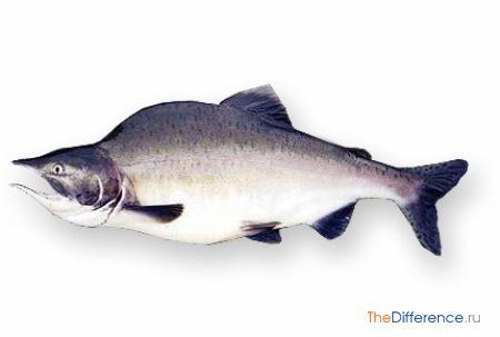 отличие горбуши от лосося