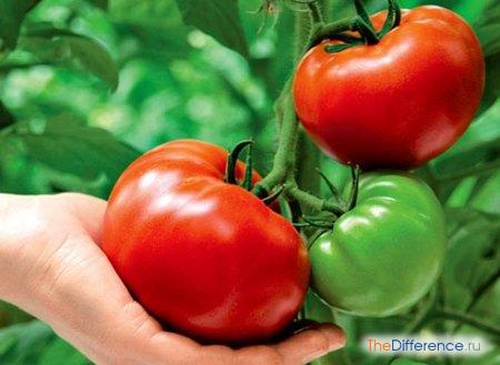 отличие томата от помидора
