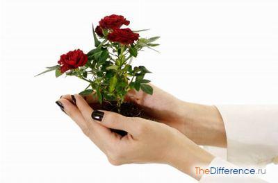 Как пересаживать розу в горшке